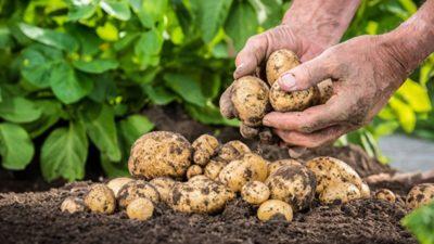 Incontro pubblico sulla coltivazione biologica della patata